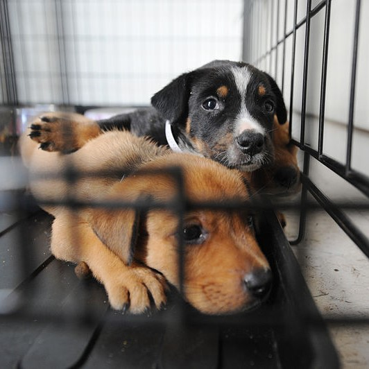 Two puppies looking sad in a cage. One is brown and one is black, white, and brown.