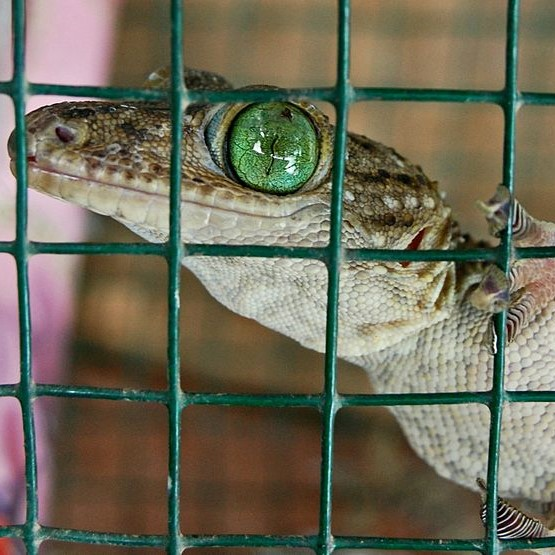 Gecko with green eyes in a cage