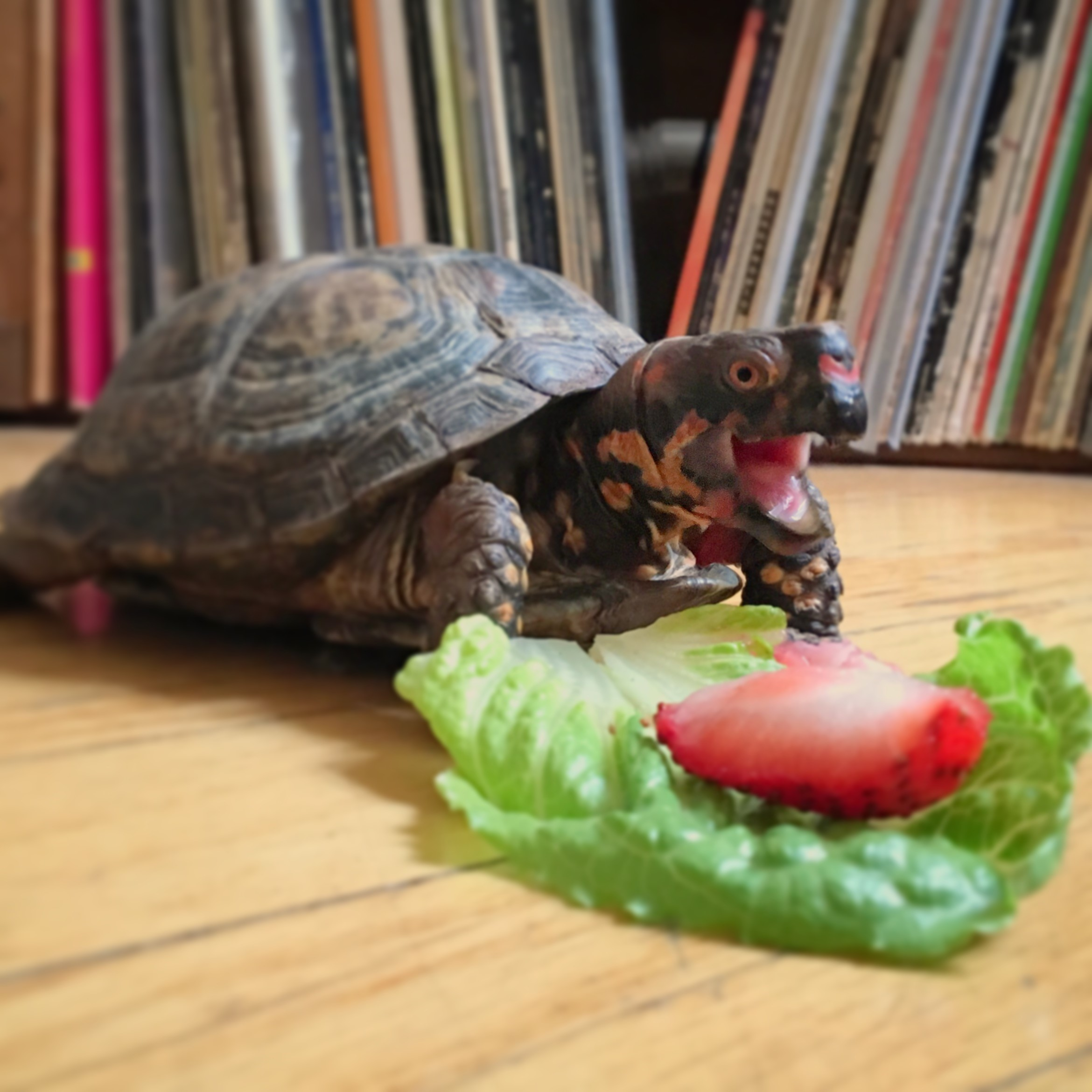 Turtle crawls on wood floor with mouth open. Lettuce and strawberry slice in front of turtle.