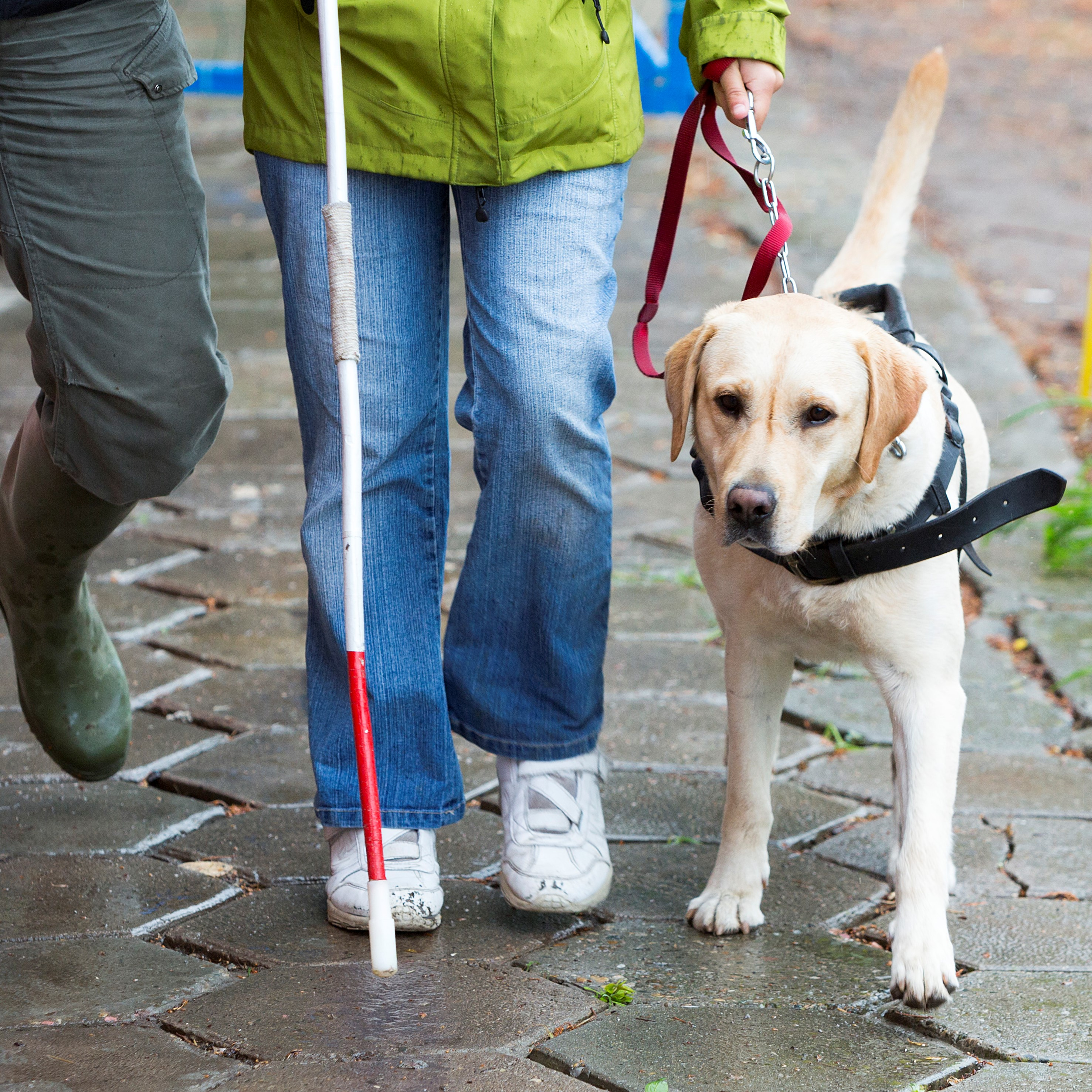 Guide dog walks next to a person. We only see the persons legs.